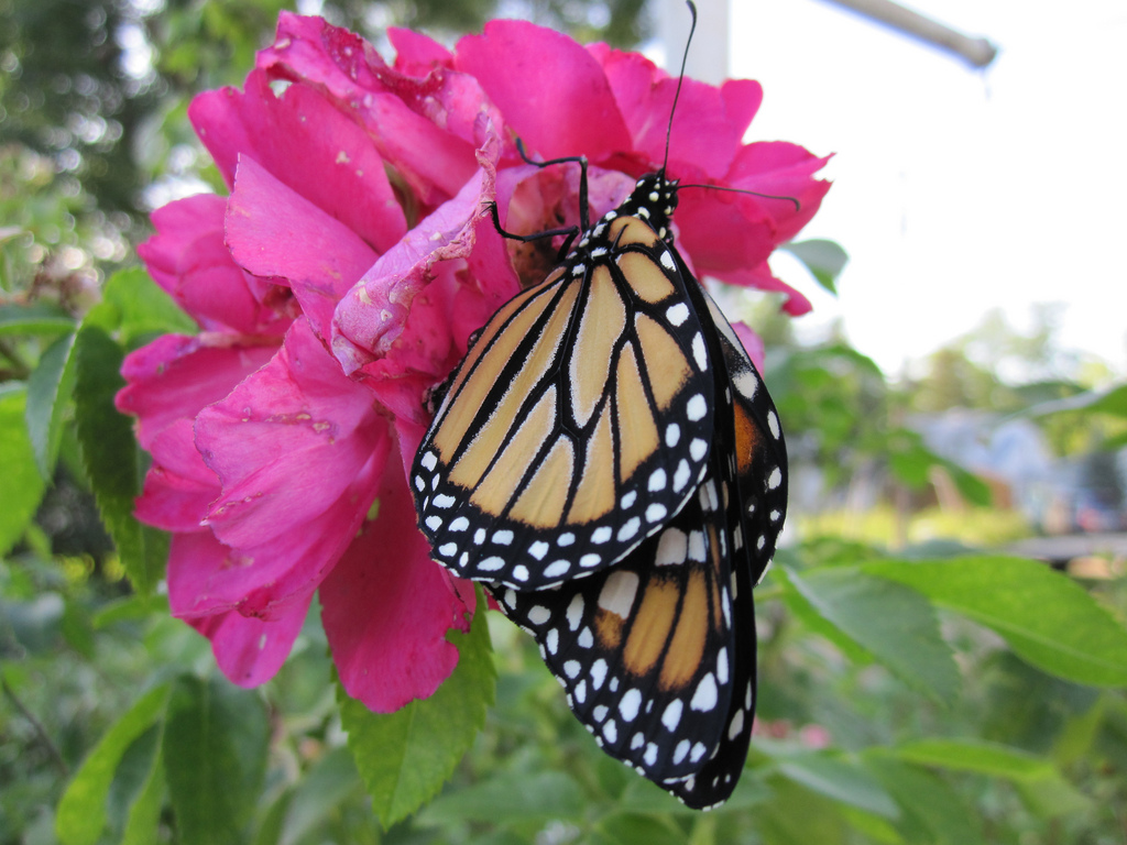 Take part in citizen science projects monitoring butterflies this summer