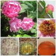 Peony science! Delay blooms, make color-changing jelly and more