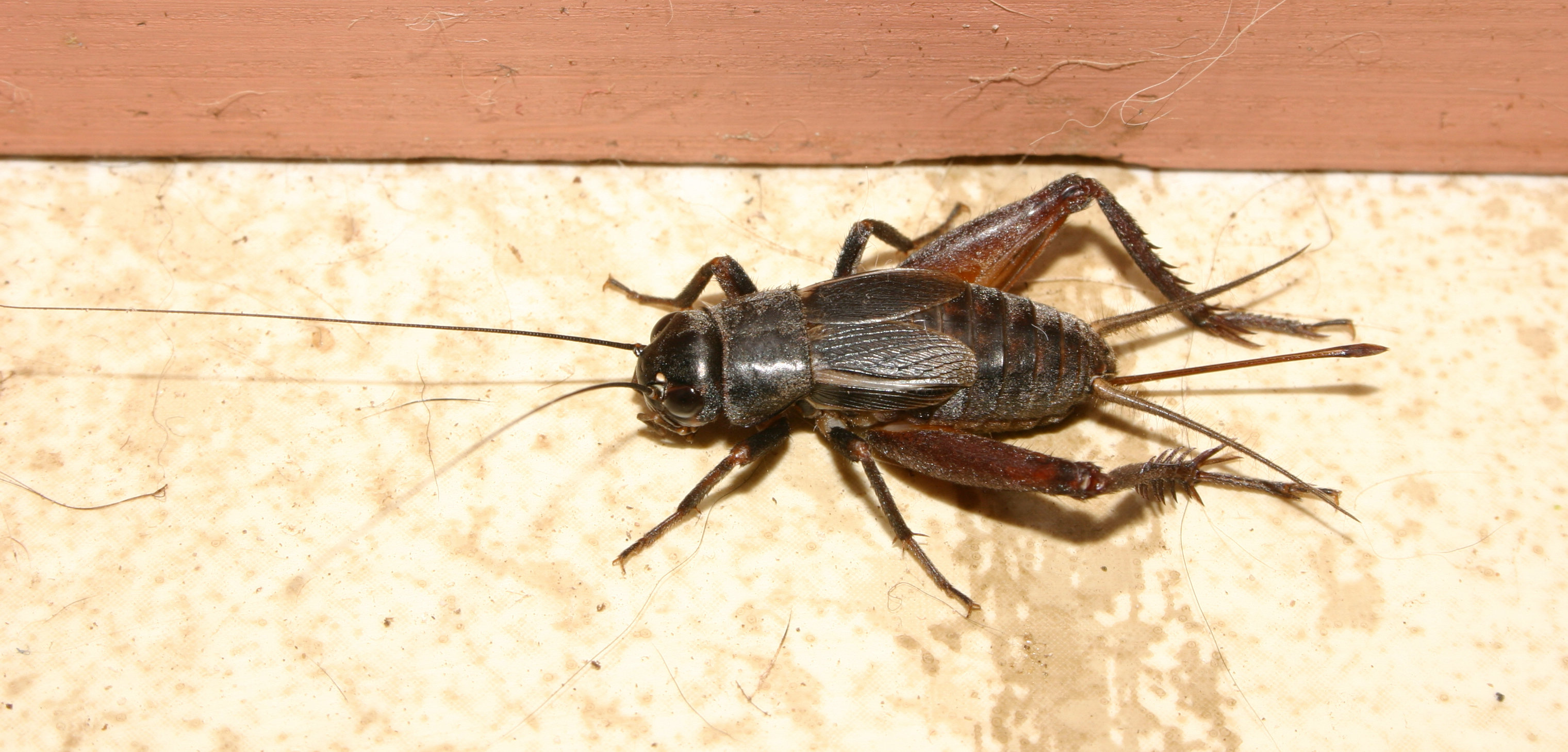 Tell the temperature with crickets!