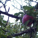 "Rediscovering ""lost"" apples"