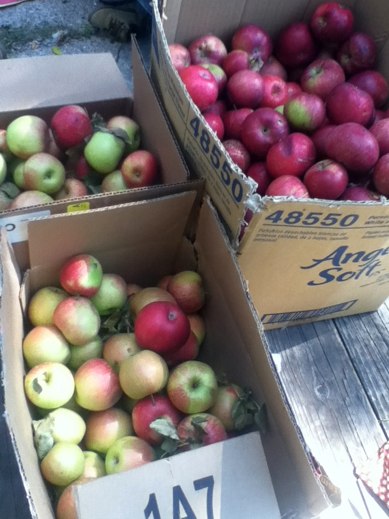 Some of the many apples we forage.
