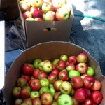 Getting orchard apples for a fraction of the price