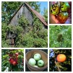 Feral foraging: not-quite-wild fruit