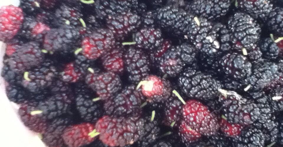 mulberries1