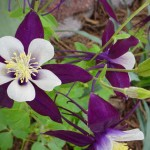 10 Perennial flowers that thrive in compacted clay soil