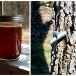 How to tap black walnut trees for syrup