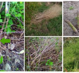 How to find wild asparagus