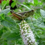 10 Natural and Organic Ways to Defeat Grasshoppers