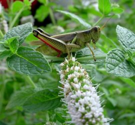 Natural Ways to Defeat Grasshoppers