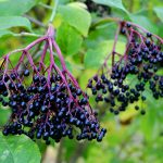 It's Elderberry Season!