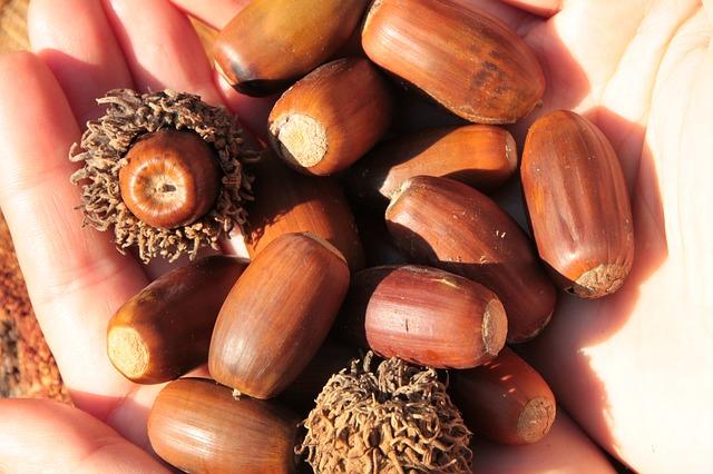 It's acorn season!