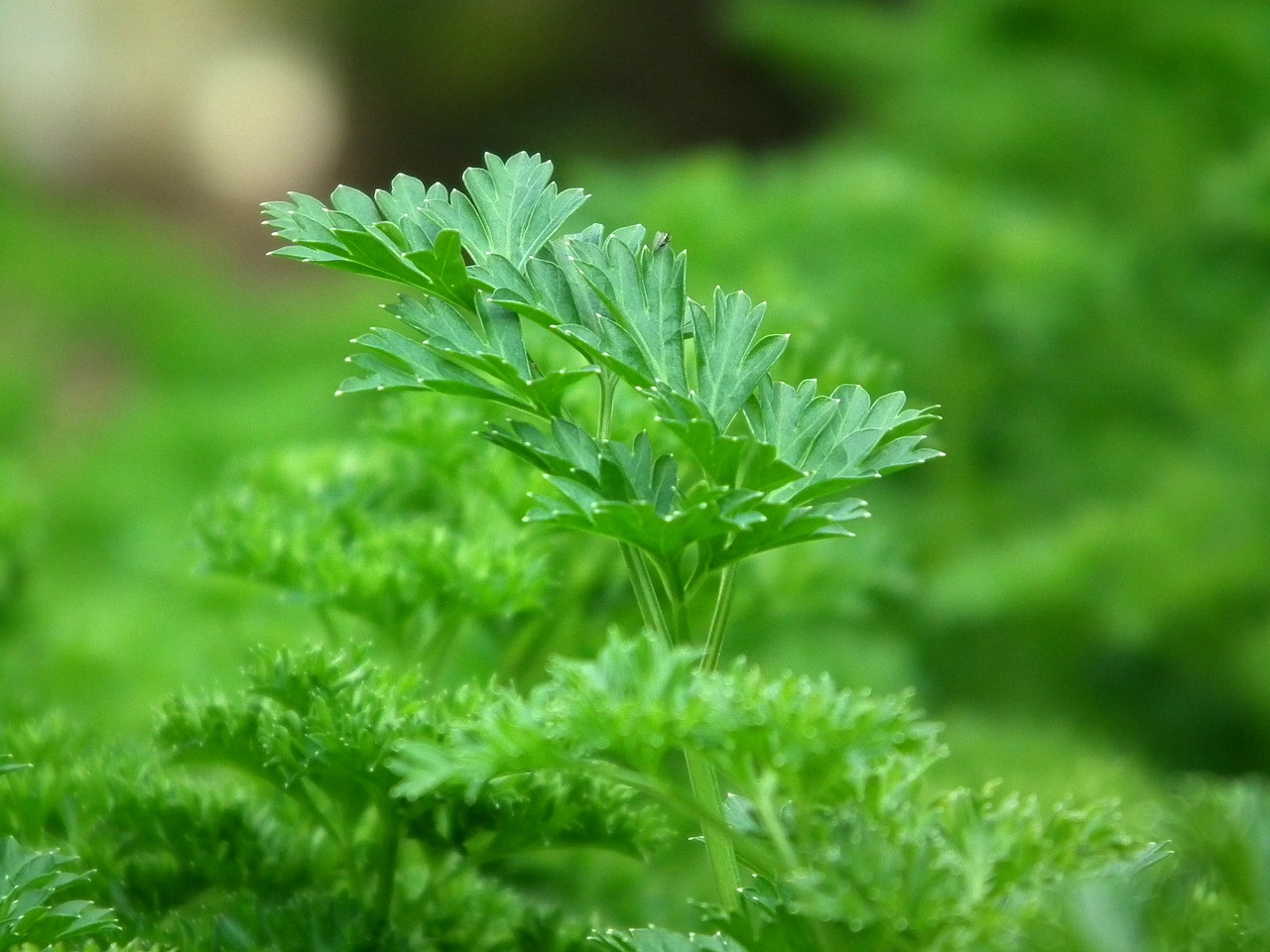 20 Herbs you can grow in shade