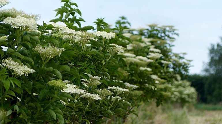 How to easily identify elderberries, elderflowers and elder shrubs