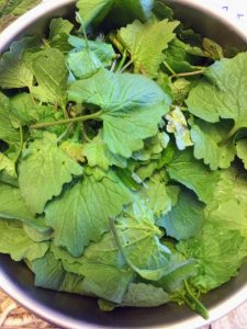 garlic mustard foraged