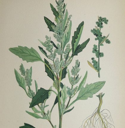 What to do with lambsquarters
