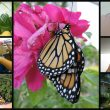 Naturally raising monarch butterflies in your homeschool