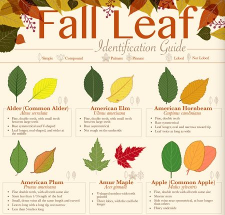Fall Leaf ID inforgraphic