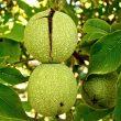 How to forage walnuts